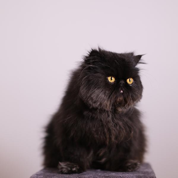 cat darman - LOLCAT darman